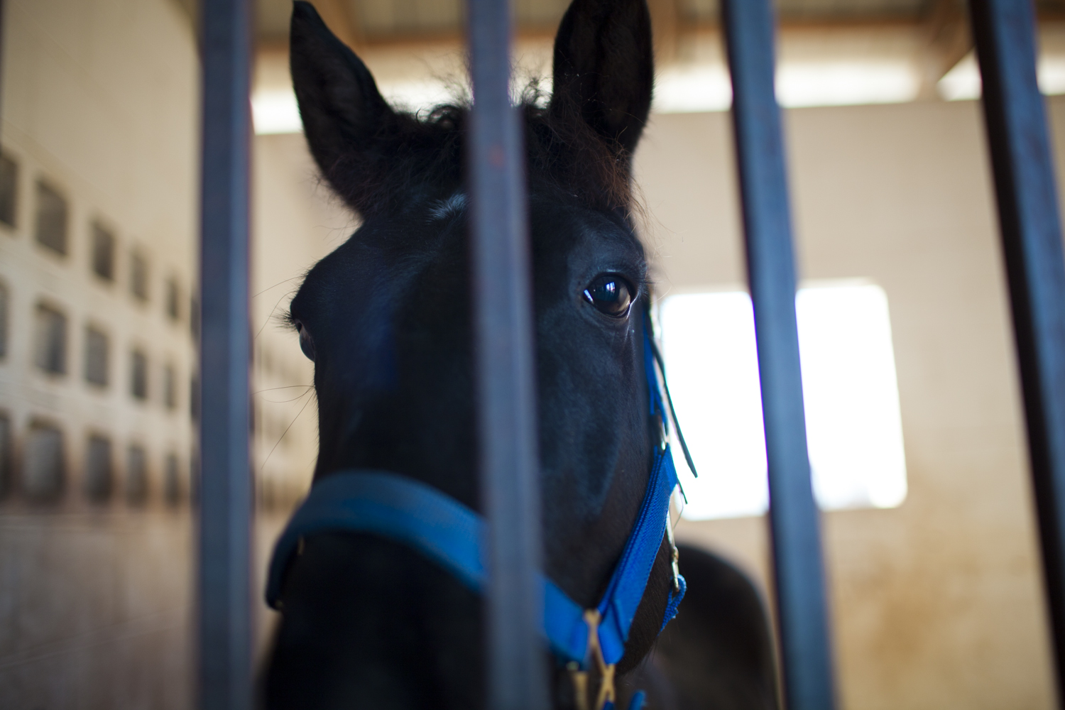 Shades of Cash, one of the 19 horses seized from Larry Wheelon's stables last spring, stands in a pen at McNutt Farm after being returned on November 8, 2013. (Credit: Adam McCauley)