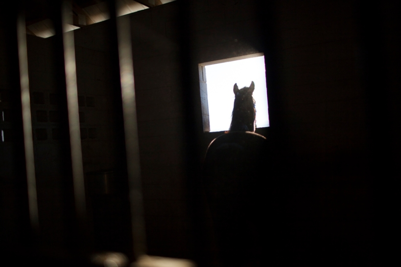 Coach Colt looks out the window of his pen at McNutt Farm on November 8, 2013. TKNAME was originally seized when USDA and SPCA officials executed a search and seizure warrant on Larry Wheelon's stable this April. (Photo: Adam McCauley)