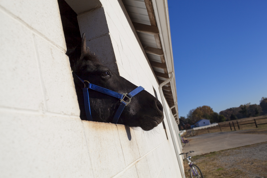 Shades of Cash, one of the 19 horses seized from Larry Wheelon's stables last spring, looks out of the only window in his pen at McNutt Farm on November 8, 2013.  (Photo: Adam McCauley)
